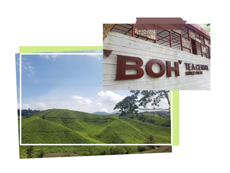 Boh Tea Cameron Highlands