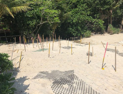 Baby schildpadjes zoeken op Chagar Hutang