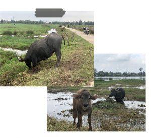 Waterbuffels Hoi An